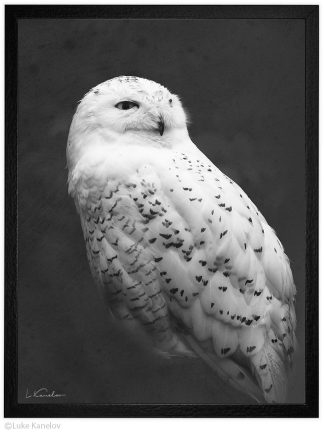 Арт фотография, Черно-бяла снежна сова