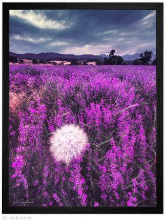 пейзажна фотография глухарче в лавандулово поле