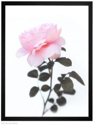пейзажна фотография цвете роза