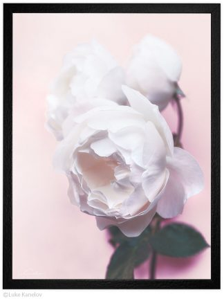 цвете роза - пейзажна фотография