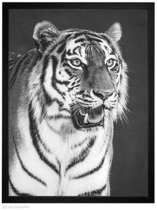 Арт фотография, Черно бял тигър