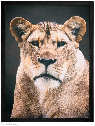 Арт фотография, Африканска лъвица