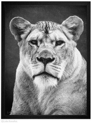 Черно-бяла арт фотография, Африканска лъвица