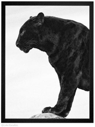 Арт фотография, Черна пантера