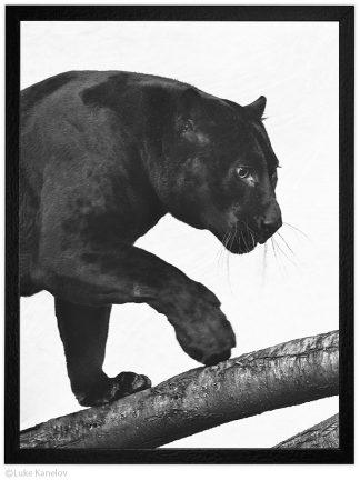 Фотография, Черна пантера