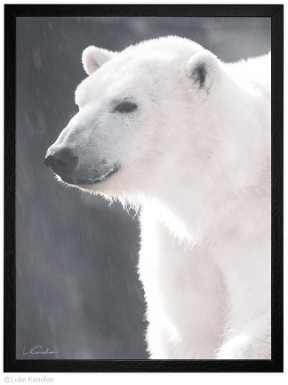Арт фотография, Бяла полярна мечка