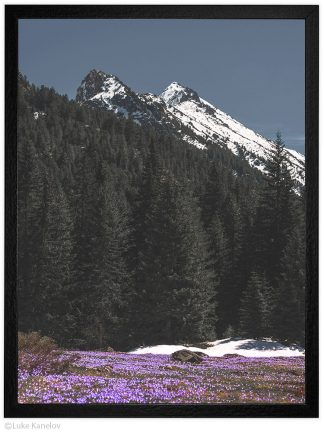 пейзаж поляна с минзухари под връх газей пирин